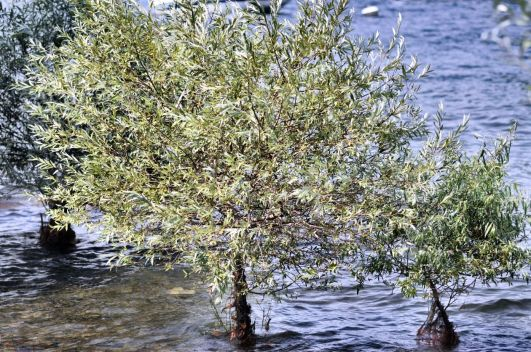 22 Trees growing in water Isola dei Pescatori
